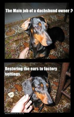 dachshund: Dogs, Dachshund Owner, Doxie, Funny, Factory Setting, So True, Main Job, Animal
