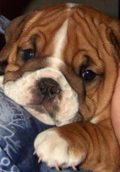 do I ever have to grow up/i used to have stuff for soccer.  I needed meds.  I am not madl    If nothing else, ask iff anyone has one, knows where they got it .: Doggie, English Bulldog Puppies, English Bulldogs, Pet, Puppys, Baby, English Bull Dog, Animal