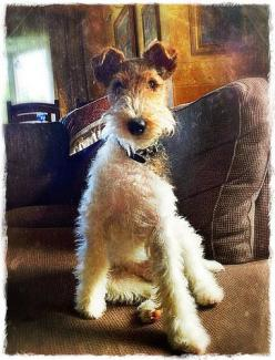 Dog Wire Foxterrier. What a very handsome boy.: Wire Haired Fox Terrier, Foxterrier Wire, Fox Terrier Wire, Wire Fox Terriers, Dogs Breeds Terrier, Wire Hair Fox Terrier, Animal