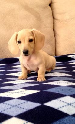 English Cream Mini Dachshund.: Animals, Mini Dachshund, Dachshund Puppies, Doxie, English Cream, Box