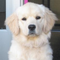English creme golden retriever...cute but could you imagine the shedding???: Obsession, Animals 3, Golden Retriever