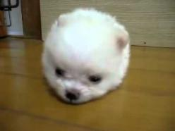 Extreme cuteness in the tiniest little fluffball of a puppy.  I have no words though my daughter said it best..  AAAWWWEEE!!!!!!!!!!!: Doggy Pomeranian, Puppy Video, Cotton Ball Animals, Watch, Ball Doggy, Pomeranian Puppy
