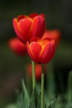 Flickr Search: tulip | Flickr - Photo Sharing!: Texaseagle, Flores Tulips Tulipanes, Tulipanes Tulips, Beautiful Flowers, Red Tulips, Garden, Photo, Favorite Flower