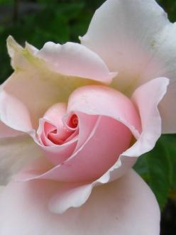 For amazing videos on youtube go here,  http://www.youtube.com/channel/UCykYc-I7HlKulqScxd67KuA/videos?view=1: Pink Roses, Center Rose, Flowers Plants, Beautiful Flowers, Bloom, Rose Garden, Center Pink, Beautiful Rose