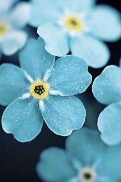 Forget-me-nots: Blue Flowers, Iphone Wallpaper, Nature, Color, Google Search, Beautiful Flowers, Forget Me Not Flower, Forgetmenot, Favorite Flower