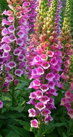 ~~Foxglove | Digitalis purpurea 'Candy Mountain' ~ The first foxglove with upward-facing flowers. Large, rose pink flowers with speckled throats. Grows 3-4 feet tall | Log House Plants~~: House Plants, Large Rose, Candy Mountain, Flowers Large, Facing Flo