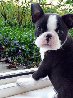 French Bulldog for my little Prince....it's a thought...Skipper needs a little brother too!!: Baby Face, Baby Boston, Boston Terriers, Boston Terrier Puppies, Animal