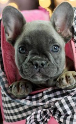 French Bulldog Puppies For Sale, dogs for sale: French Bull Dog, Baby French Bulldog, French Bulldogs, Dogs For Sale, Unusual Pet, Frenchbulldog, Sale Dogs, Frenchie, French Bulldog Puppies