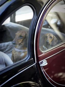 {French doxies travel in style} photo by Rachael Hale from The French Dog book  Okay, you'll begin noticing that I pretty much pin dachshunds to this board, and that's because I am completely in love with them! I have two that are big babies and w