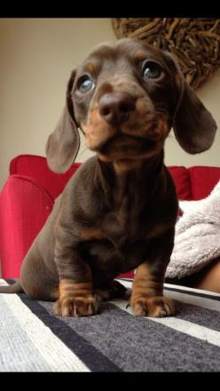 Friends chocolate dachshund puppy #puppy #cute #animals www.savingpepper.com: Cutest Puppy, Cute Puppies, Sausage Dogs, Chocolate Dachshund Puppies, Baby Reecie, Aaaw Puppy, Cute Animals, Chocolate Dachshund Puppy