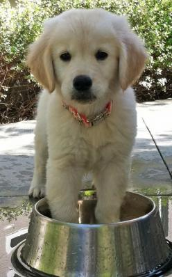 golden retriever - my Golden always plays in his water when we put the bowl outside!!!: Animals, Dogs, Golden Retrievers, Pets, Puppys, Food Network/Trisha, Friend, Golden Retriever Puppies, Golden Retriever