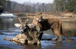 Google Image Result for http://izismile.com/img/img3/20100129/unusual_animal_friendship_40.jpg: Animalfriends, Pictures, Odd Couples, Mountain Lion, Unusual Animals, Photo, Unusual Friendships, Deer
