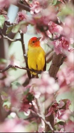 Google Image Result for http://latimesblogs.latimes.com/photos/uncategorized/2008/05/07/western_tanager.jpg: Birds Birds, Animals, Poultry, Wings, Beautiful Birds, Spring