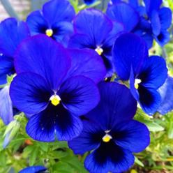 Gorgeous Blue Pansies: Colour, Favorite Flowers, Flores Flowers, Beautiful Blues, Blue Pansies, Nature Museum Flowers, Flowers Beautiful, Flowers Plants Container