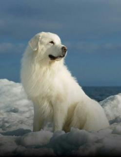 Great Pyrenees.  GREAT dog. Obedient , good guard dog. Loves children, great for families.: Dog Pyrenees, Great Pyrenees Dogs, Dogs Pets, Dog, Guard Dog, Friend