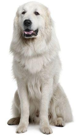 Great Pyrenees Information, Facts, Pictures, Training and Grooming: Great Pyrenees Puppies, Pyrenees Doggies, Pet, Great Pyrenees Dogs, Great Pyrenees Dog Training, Dog Great Pyrenees, Big Dogs, Animal