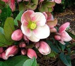 Hellebores - shade plants . Beautiful, deer resistant, hardy Hellebores.  Pinner says - Some of my hellelbores are already blooming.  I'd like to add these for next year, though I doubt they would bloom quite so early...: White Flower, Collection Pink