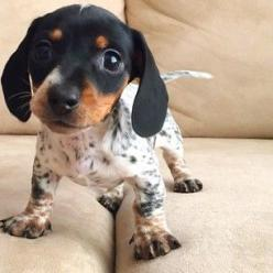 HERE'S THEIR NEW BABY SISTER, REESE LIGHTNING! | This Is Hands Down The Cutest Family On Instagram: Animals, Puppies, Dogs, Dachshund, Reese Lightning, Pets, Puppys, Adorable, Baby
