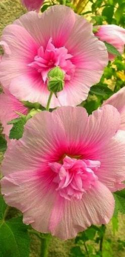 ✯ Hollyhocks - I grew up with Hollyhocks around the barn and I love them.  I've never really had a place for them, until now.  I think I'll make a long bed along the side of my garden shed and plant some there.  Should be perfect!: Pink Flowers, P