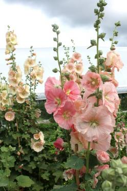 Hollyhocks - When we were kids we made dolls out of hollyhocks - the skirt was a flower turned upside down and the bud the head.: Ideas, Bloom Hollyhocks, Cottage Gardens, Outdoor, Hollyhocks Remind, Favorite, Flowers, Single Bloom