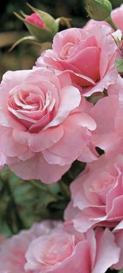 https://www.facebook.com/MormorsStuer: Pink Roses, Beautiful Roses, Beautiful Flowers, Pink, Rose Garden, Pretty Flower