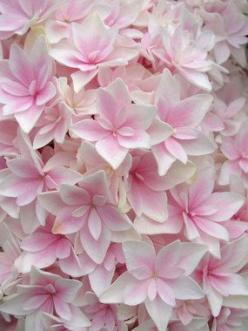 Hydrangea Double Delights Freedom    Bigleaf Hydrangea, Shrub, Height: 3-4' (Plant 3-5' apart) Bloom Time: Late Spring to Early Fall, Mostly Sunny to Mostly Shady, Z : 5-9 , Normal to acidic soil. Superb in the border for summer and autumn color.