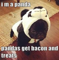 I'm a panda. Pandas get bacon and treats!: Animals, Dogs, Pet, Funny, Pugs, Puppy, Pandas