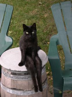 I can't stop laughing at this!!: Kitty Cats, Animals, Funny Black Cats, Black Cats Funny, Pet, Sexy Cat, Crazy Cat