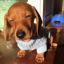 I need some shades.: Animals, Puppies, Dogs, Doxies, Puppy, Dachshund S, Photo