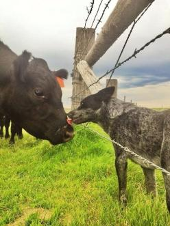 I think this is an Australian cattle dog giving dog kisses to a cow.  What a good shepherd to these cattle.: Cow Dog, Animals, Blue Heelers, Australian Cattle Dog, Cattle Dogs, Cattledogs, Acd