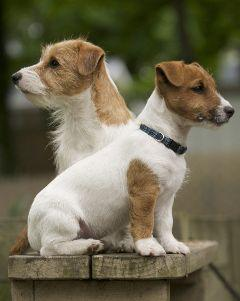 I want a long hair long leg jack russel, rat terrier, beagle, Boston terrier, boxer, or miniture poodle   Want rat terrier more: Jack Russells, Jack Russell Terriers, Jack O'Connell, Jack Russell S, Dog, Jackrussell, Animal