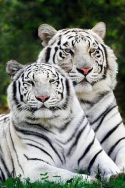 iDesign * iPhone | Your Number one source for Free iPhone Wallpapers / iPod Touch Wallpapers. Updated Daily!: White Tigers, Favorite Animals, Iphone Wallpapers, Bengal Tigers, Big Cats, Siberian Tiger, Happy Couple, Wild Animals, Wild Cats