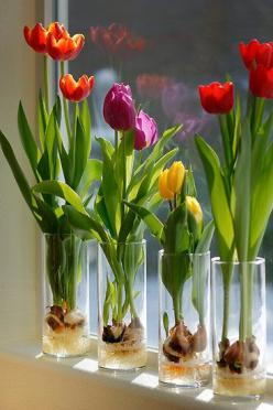 Indoor Tulips . . . Step 1 - Fill a glass container about 1/3 of the way with glass marbles or decorative rocks. Clear glass will enable you to watch the roots develop . . . Step 2 - Set the tulip bulb on top of the marbles or stones; pointed end UP. Add
