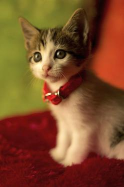 Isnt this kitty so cute I promise I will get another cat some day not to replace lana but to fill the whole in my heart she took with her.: Kitty Cats, Animals, Sweet, Pet, Kitty Kitty, Adorable, Baby, Kitties, Cute Kittens