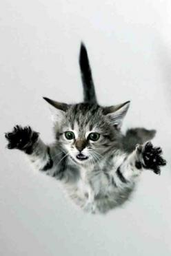 It's a bird.  It's a plane.  No, it's Supercat!: Animals, Adorable Cat, Flying Kitten, Flying Cats, Flyin Cat, Cat Leap, Cat Falls, Falling Kitten