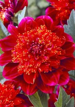 Jive Anemone Dahlia ~~ Dahlia is a member of the Asteraceae (or Compositae), dicotyledonous plants, related species include the chrysanthemum, daisy, sunflower, and zinnia.: Dahlia Flowers, Jive Anemone, Dahlias, Flower Power, Beautiful Flowers, Anemone D