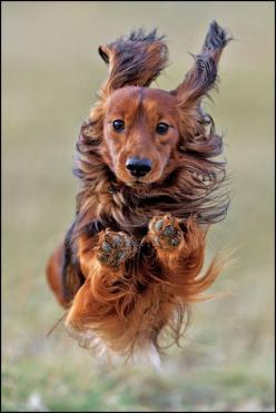 Jump at full speed | Amazing Pictures - Amazing Pictures, Images, Photography from Travels All Aronud the World: Long Haired Dachshund, Animals, Dogs, Pet, Doxies, Photo, Friend