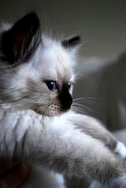 Just like my Murphy I loved so much. I would get one if it was her again!: Ragdoll Cat, Kitty Cat, Kitty Kitty, Chat, Cats Kittens, Animal