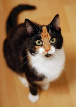 Kind of looks like my other cat,Baby Tvedt, but she had a black mark under her nose that made her appear to sport a mustache: Kitty Cats, Face, Animals, Black Mark, Pretty Cat, Calico Cats, Ray Ban, Baby, Feline