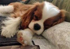 Kingston the Cavalier King Charles Spaniel - love sleepy puppy pictures!: Puppy Picture, Cavaliers, Cables, Kingcharlesspaniels, King Cavalier Spaniel Puppy, Baby, Cavalier King Charles Spaniels, Animal