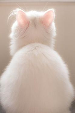 Kitten with pink ears.: Kitty Cats, Animals, White Cats, Pink Ears, White Kitty, Kitty Kitty, Kittens, Chat