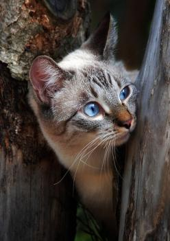 kitty: Cats, Beautiful Cat, Animals, Blue Eyes, Kittens, Chat, Photo, Kitty