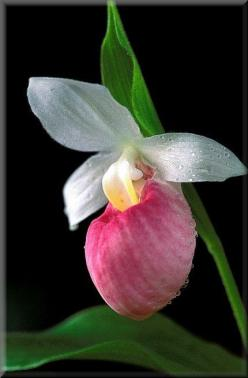 Lady Slipper orchid...the Minnesota State Flower: Slippers, Beautiful Flowers, Garden