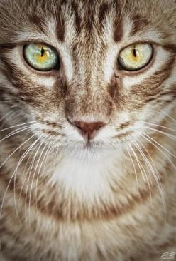 Leafpool: Cat Face, Animals, Beautiful Cats, Tabby Cat, Cat Eyes, Feline, Kitty