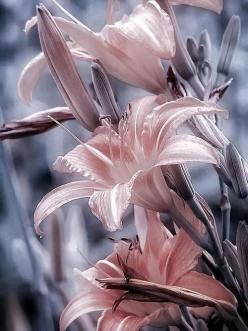 ~~lilies~~: Art, Color Splash, Beautiful Flowers, Pink, Things, Flowers, Garden, Beautiful Lillies, Beautiful Lilies