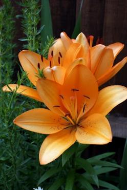 Lillies (looks like my tattoo): Lovely Lillies, Arm Tattoo, Orange Lillies, Juana S Tattoo, Floral, Lillies 3 3 3, Favorite Flower