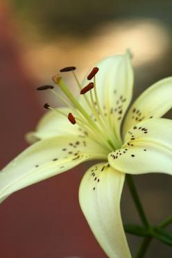 Lily in My Yard: Yard, Lily, Flowers Plants, Lilies, Flower Power, Beautiful Flowers, Pretty Flower, Garden