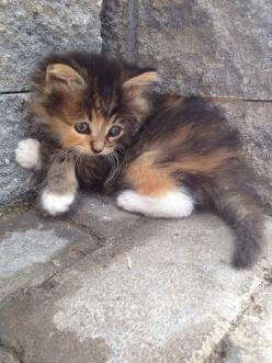 "Little Calico baby.........I'M HERE ""CALLIE BABY""........LET'S GET INTO THE HOUSE AND PARTAKE IN A SCRUMPTIOUS BOWL OF CREAME, MY PRECIOUS..............ccp: Cats, Animals, Kitty Cat, Pet, Adorable Kittens, Kitty Kitty, Calico Cat"
