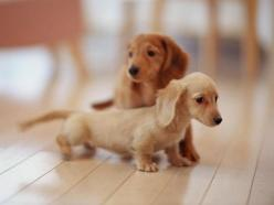 Long Haired English Cream and Red Dachshund Puppies!!!!! <3 <3 <3: Animals, Puppies, Dogs, Dachshund, Pet, Doxie, Puppys, Baby