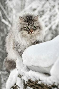 Miiiau!..Uhm, This Place Is So Cute...I'm Going To Find A Way To Sneak Quickly Inside Samissomar's Pinterests !... http://samissomarspace.wordpress.com: Cats, Beautiful Cat, Animals, Kitten, Maine Coon, Winter Wonderland, Snow Cat, Kitty Kitty